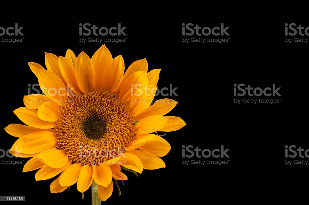 Sunflower on Black, Flower, Petals, Copy Space, Vivid-Color royalty-free stock photo