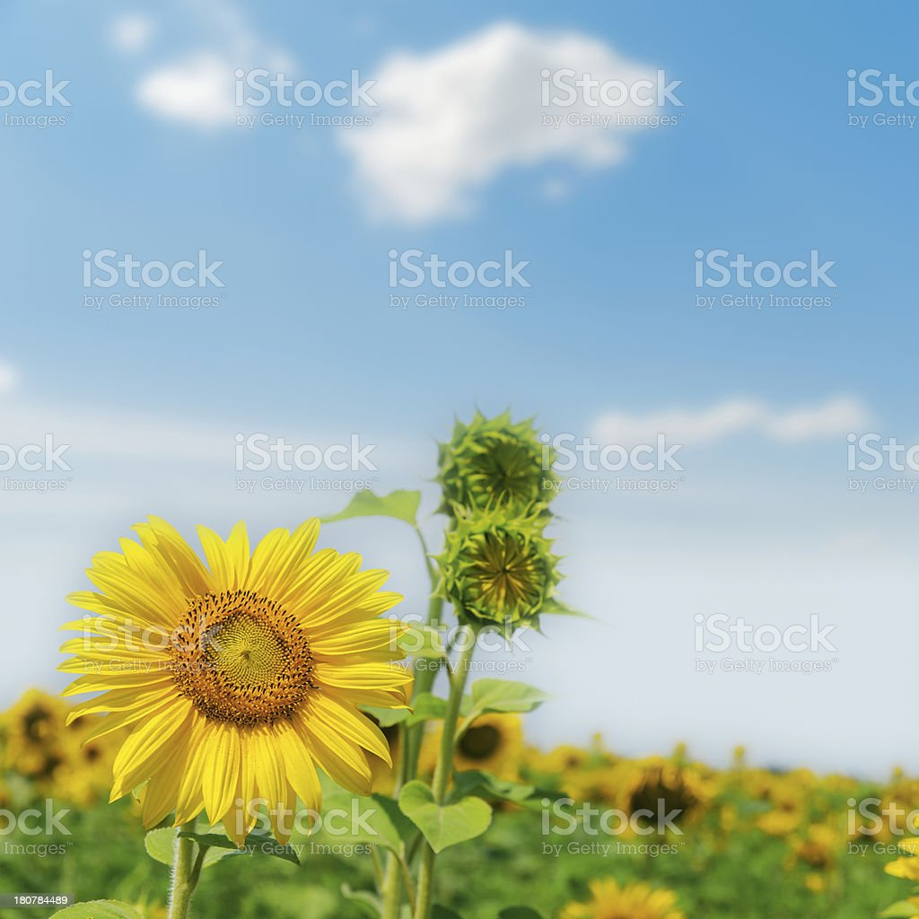 sunflower on field close up royalty-free stock photo