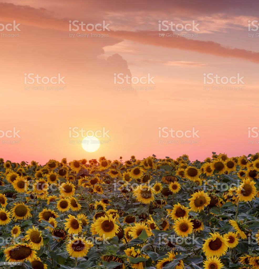 Sunflower on field during sunrise. Beautiful natural summer landscape stock photo