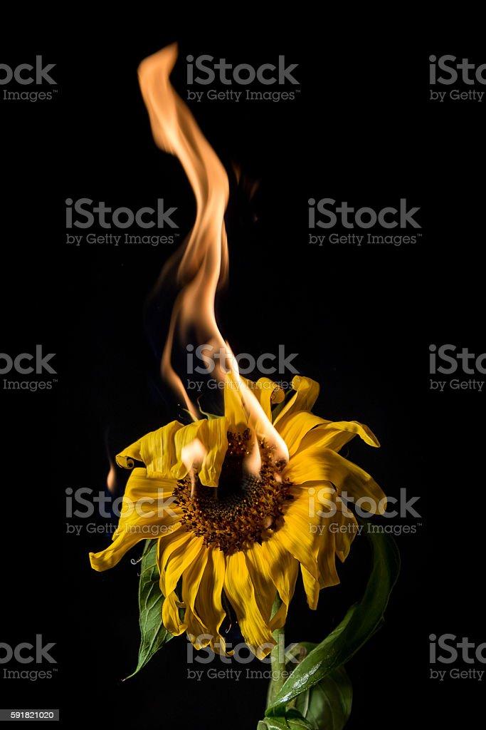 sunflower on fire stock photo