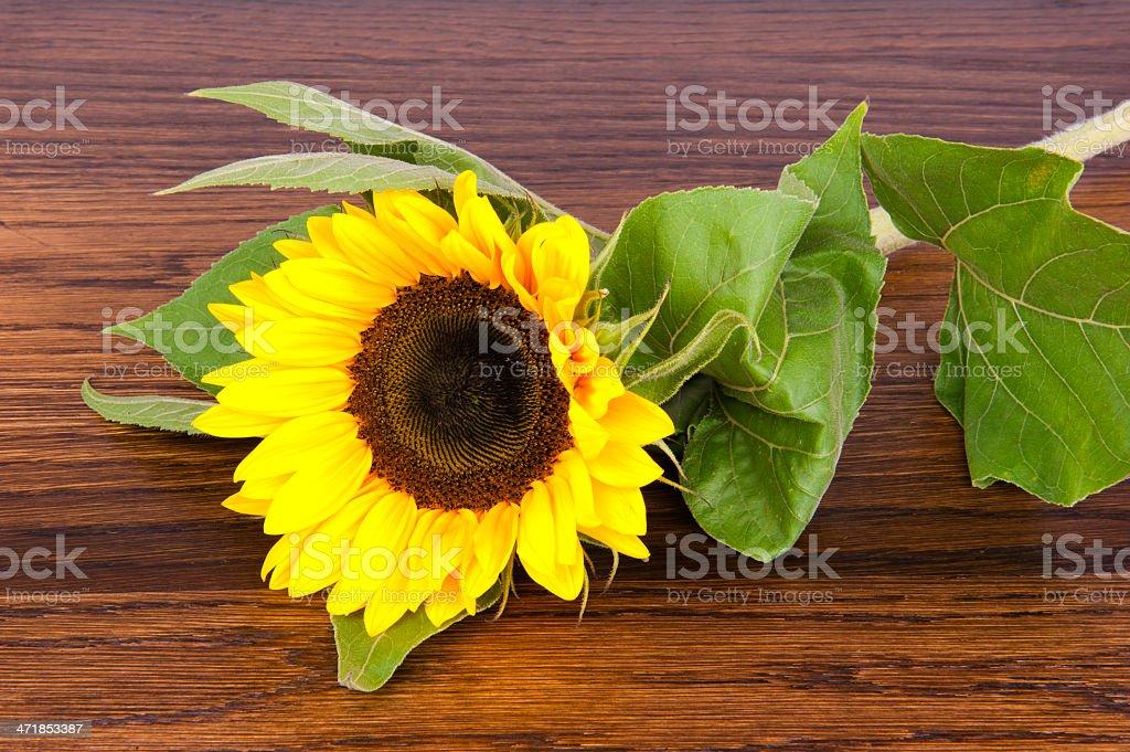 Sunflower on hardwood oak shelf royalty-free stock photo