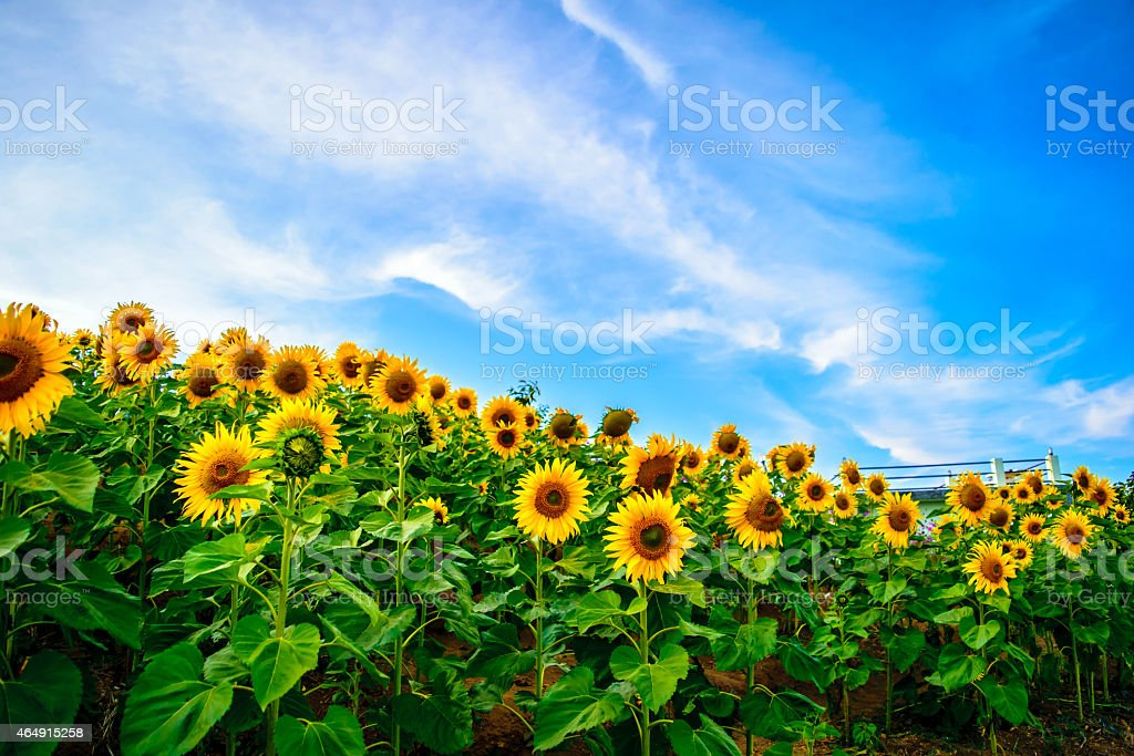 Sunflower on the hill stock photo