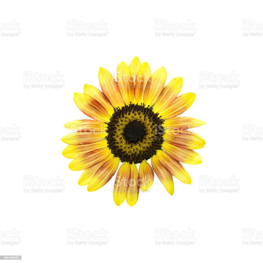 Sunflower on white background 0036 stock photo