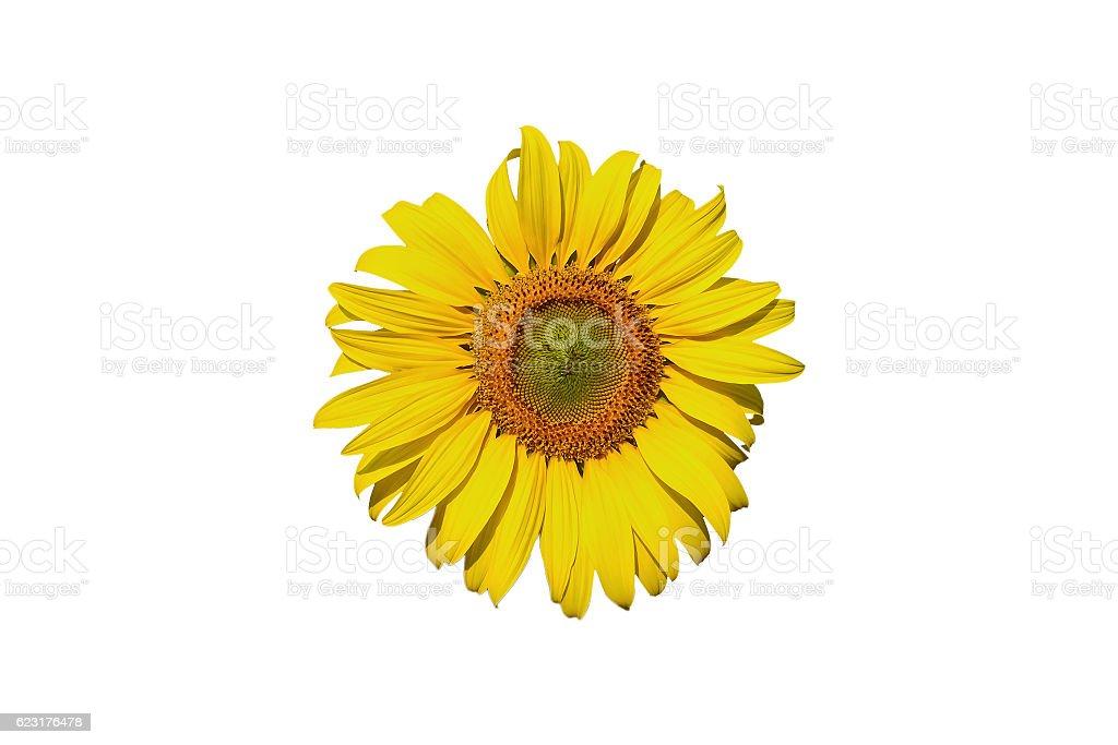 Sunflower on white background. stock photo