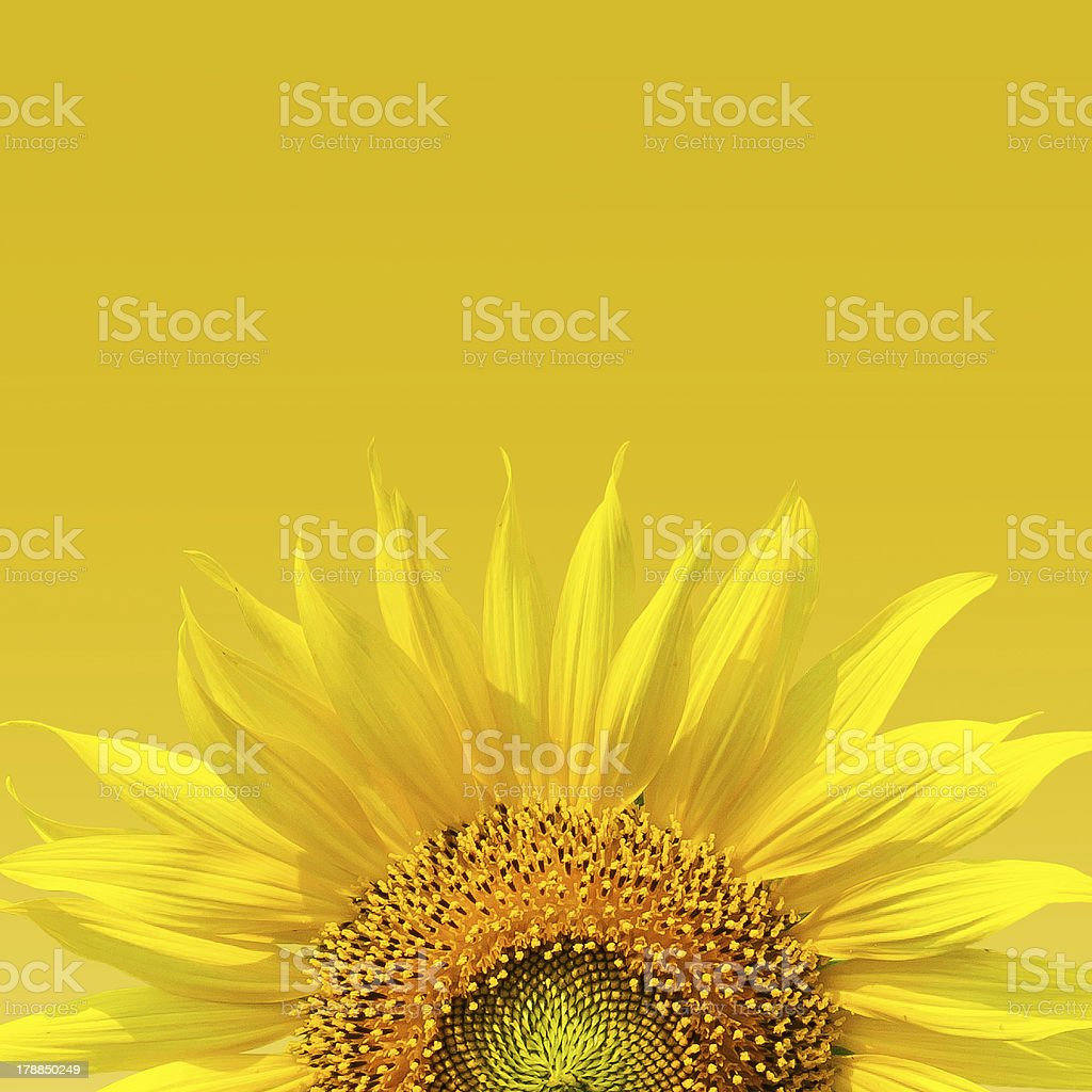 Sunflower on yellow background. royalty-free stock photo