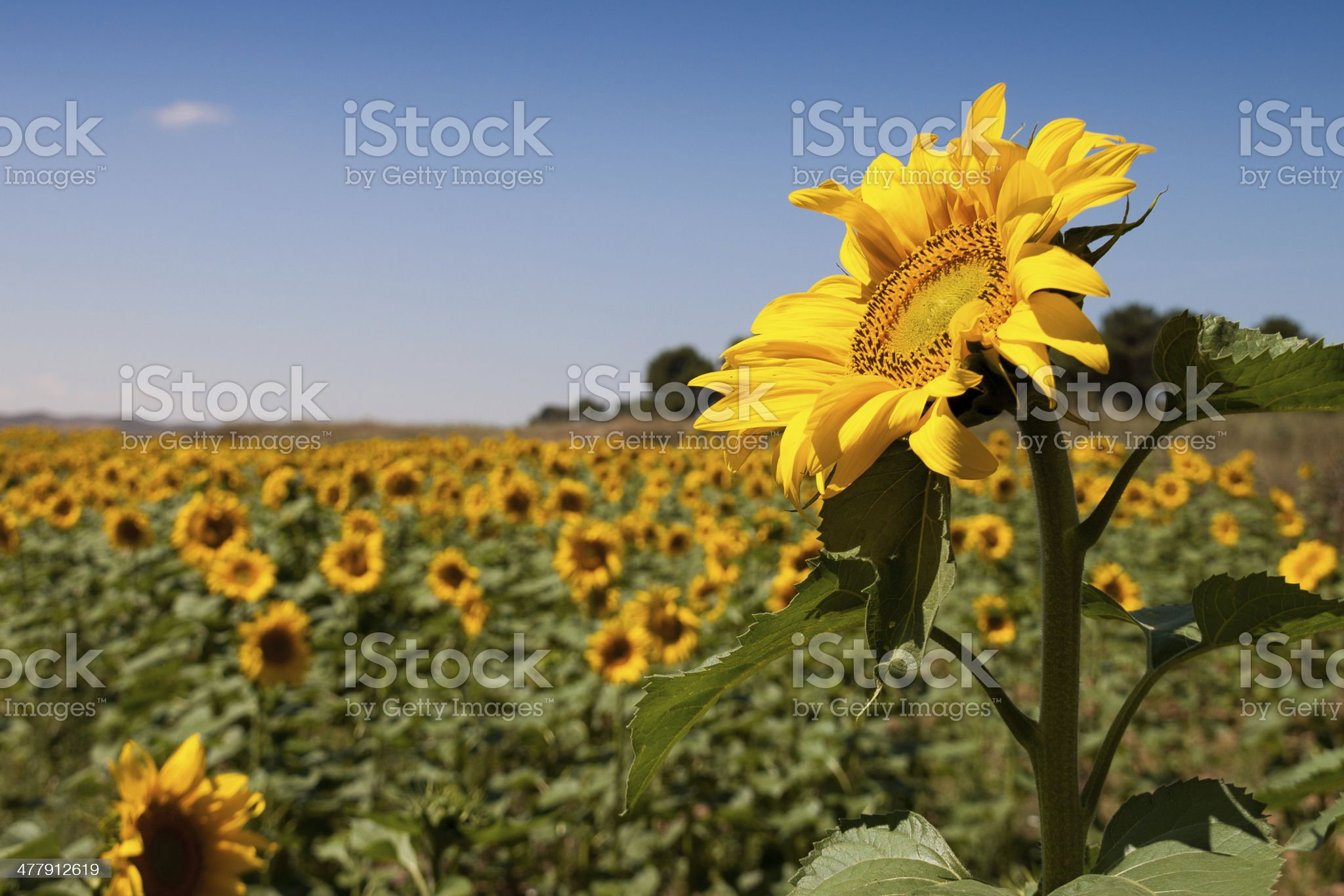 Sunflower over sunflowers royalty-free stock photo
