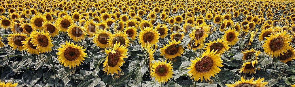 Sunflower panorama stock photo