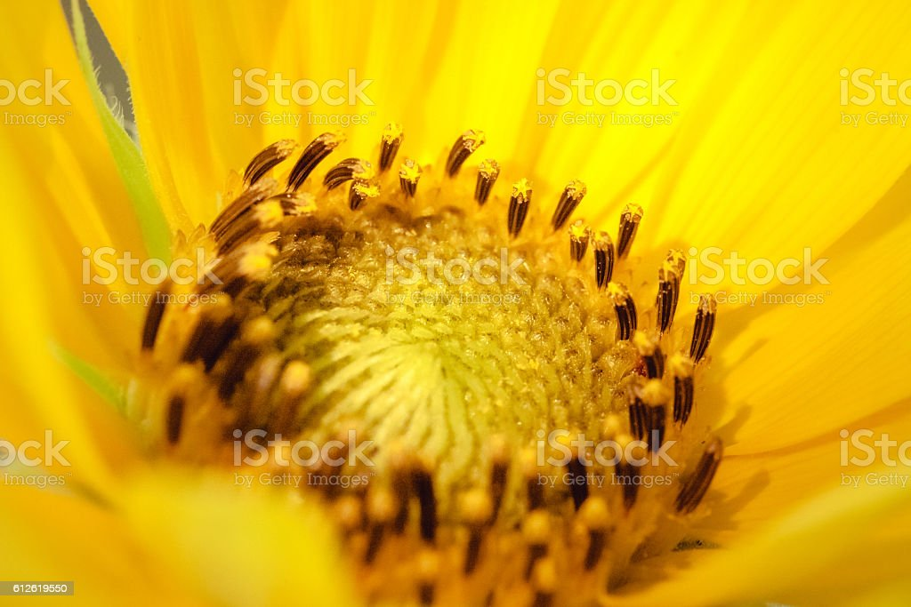 Sunflower Petals And Stamen stock photo