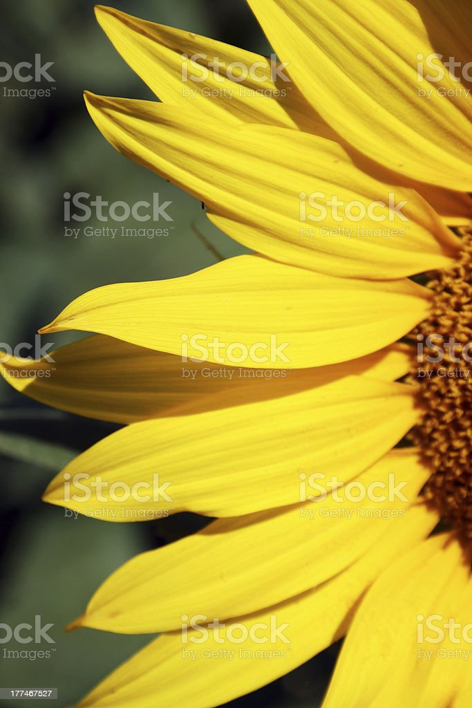 Sunflower petals royalty-free stock photo