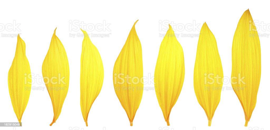 Sunflower Petals stock photo