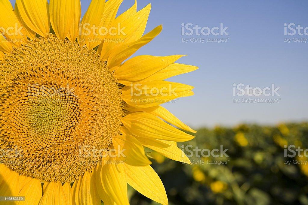 - Sonnenblume Lizenzfreies stock-foto