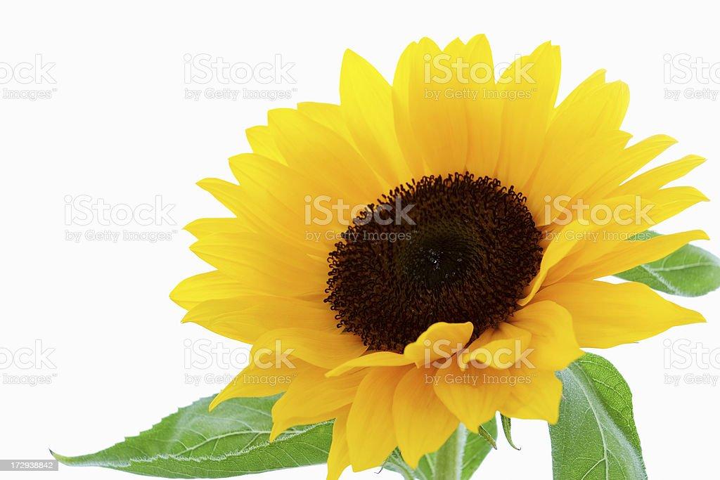 Sunflower. royalty-free stock photo