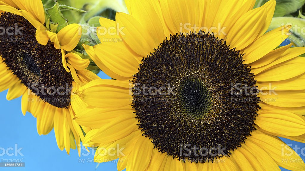 sunflower (Helianthus annuus) royalty-free stock photo