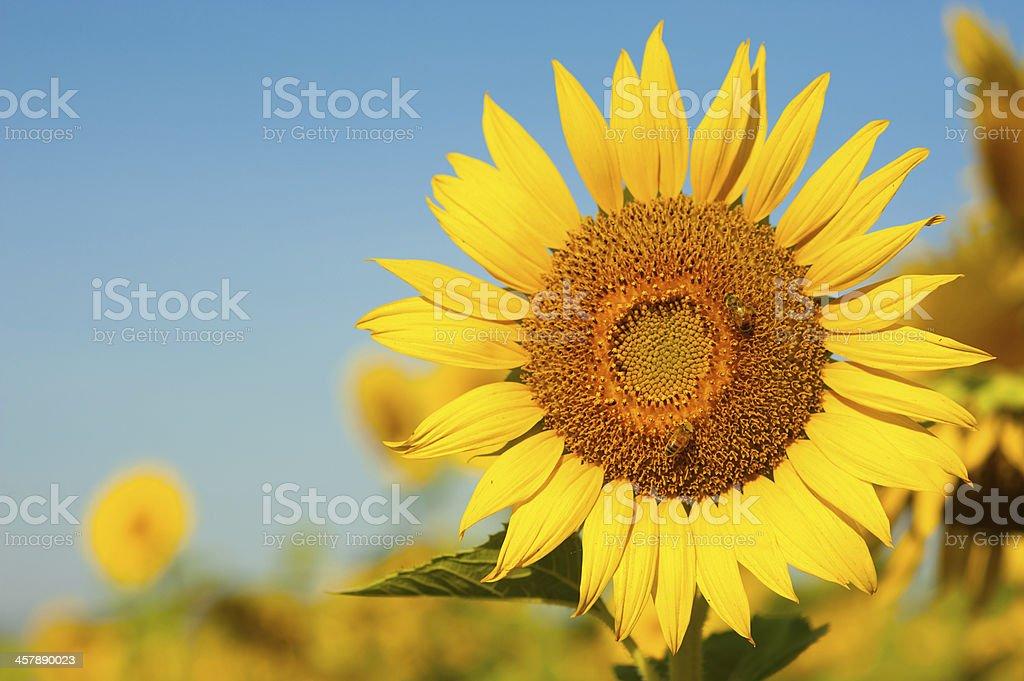 Słonecznik zbiór zdjęć royalty-free
