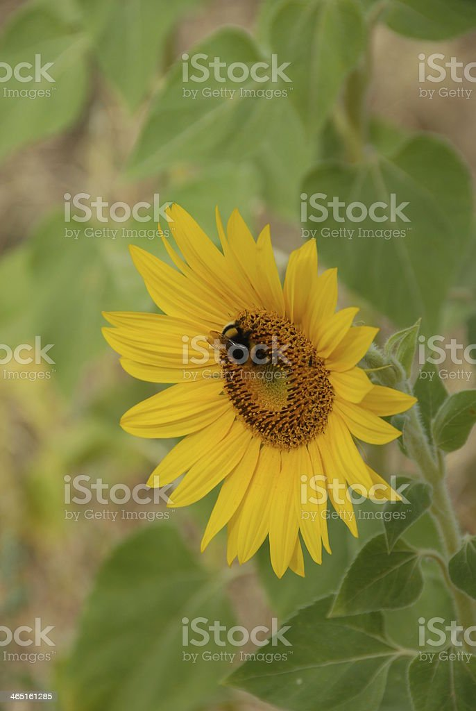 Sonnenblume royalty-free stock photo