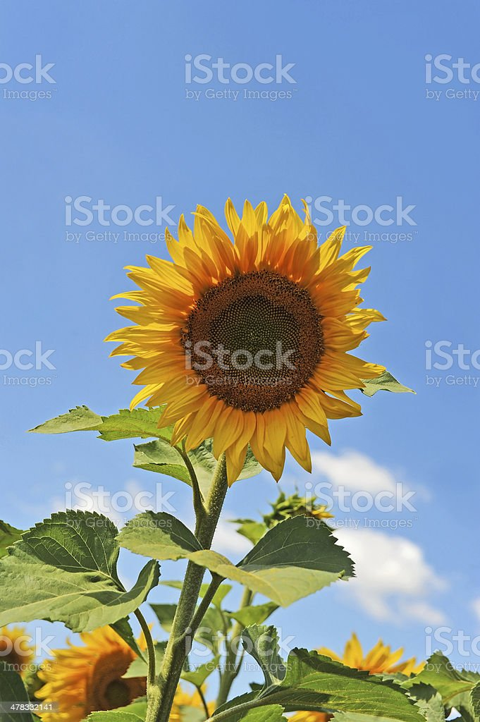 Sunflower (Helianthus) royalty-free stock photo