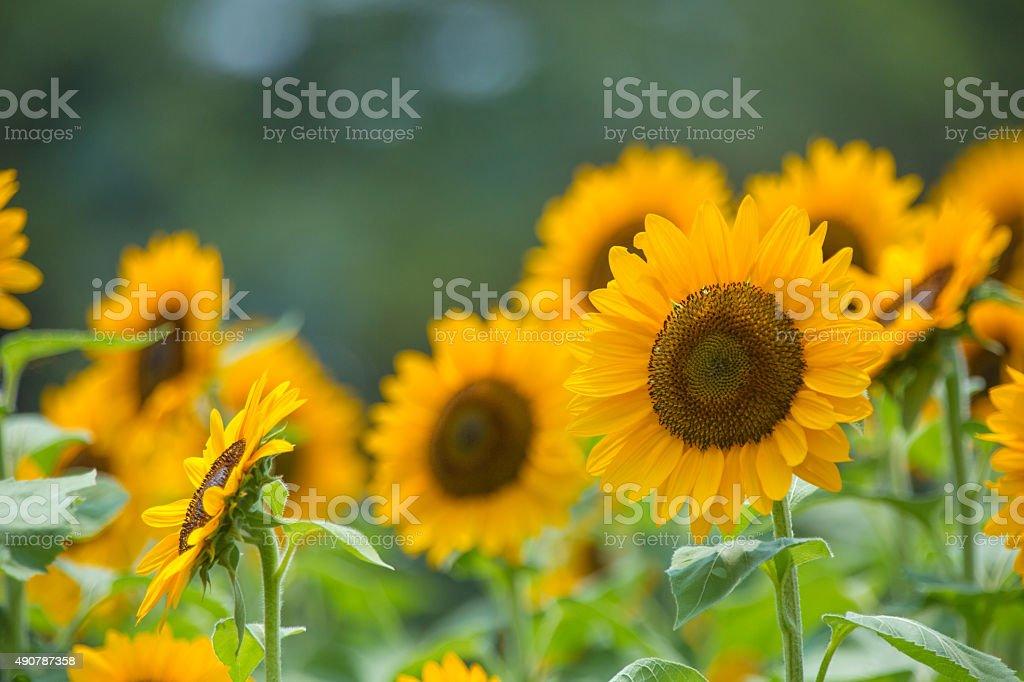Sunflower (Himawari) stock photo