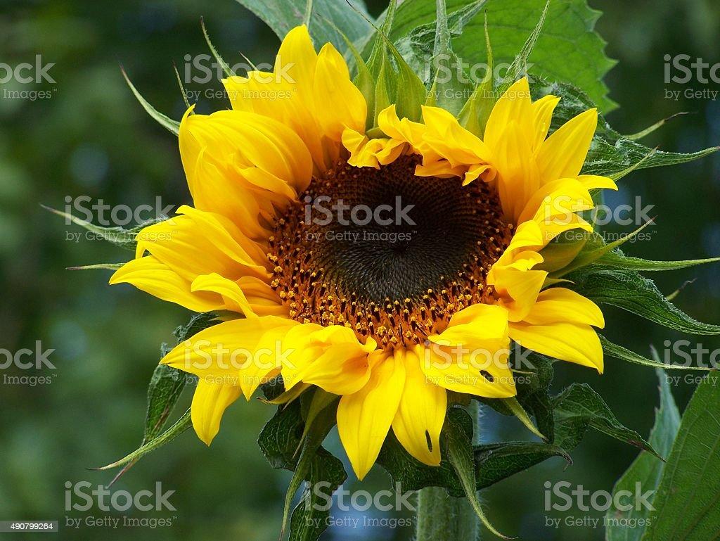 Sunflower stock photo