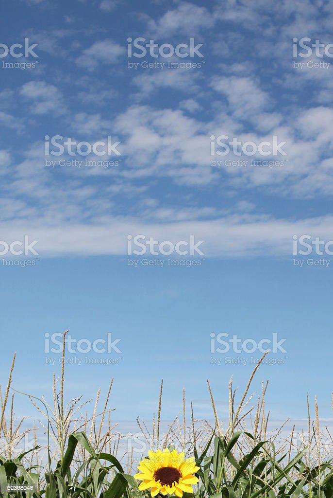 Girasol foto de stock libre de derechos