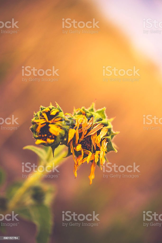 Sunflower plants at end of their flowering life stock photo