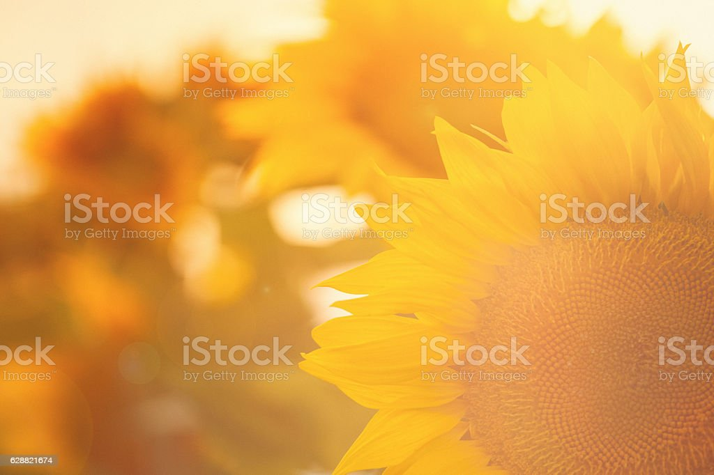 Sunflower plants in the field stock photo