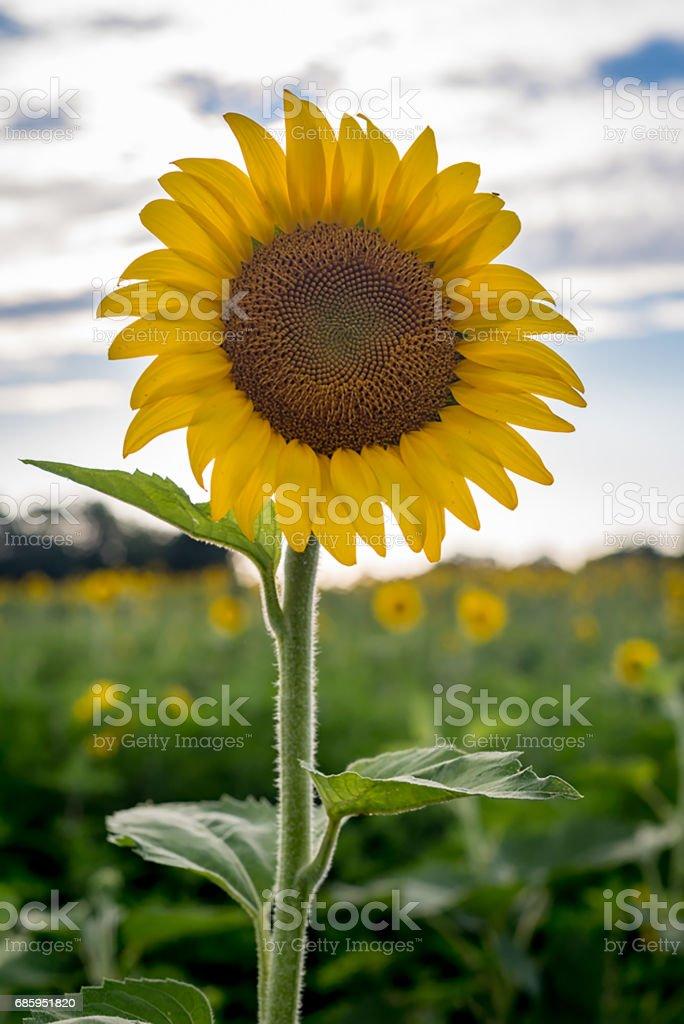 Sunflower Portrait stock photo