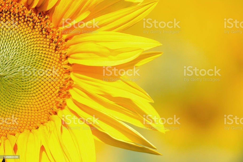 Sunflower radiating happiness stock photo