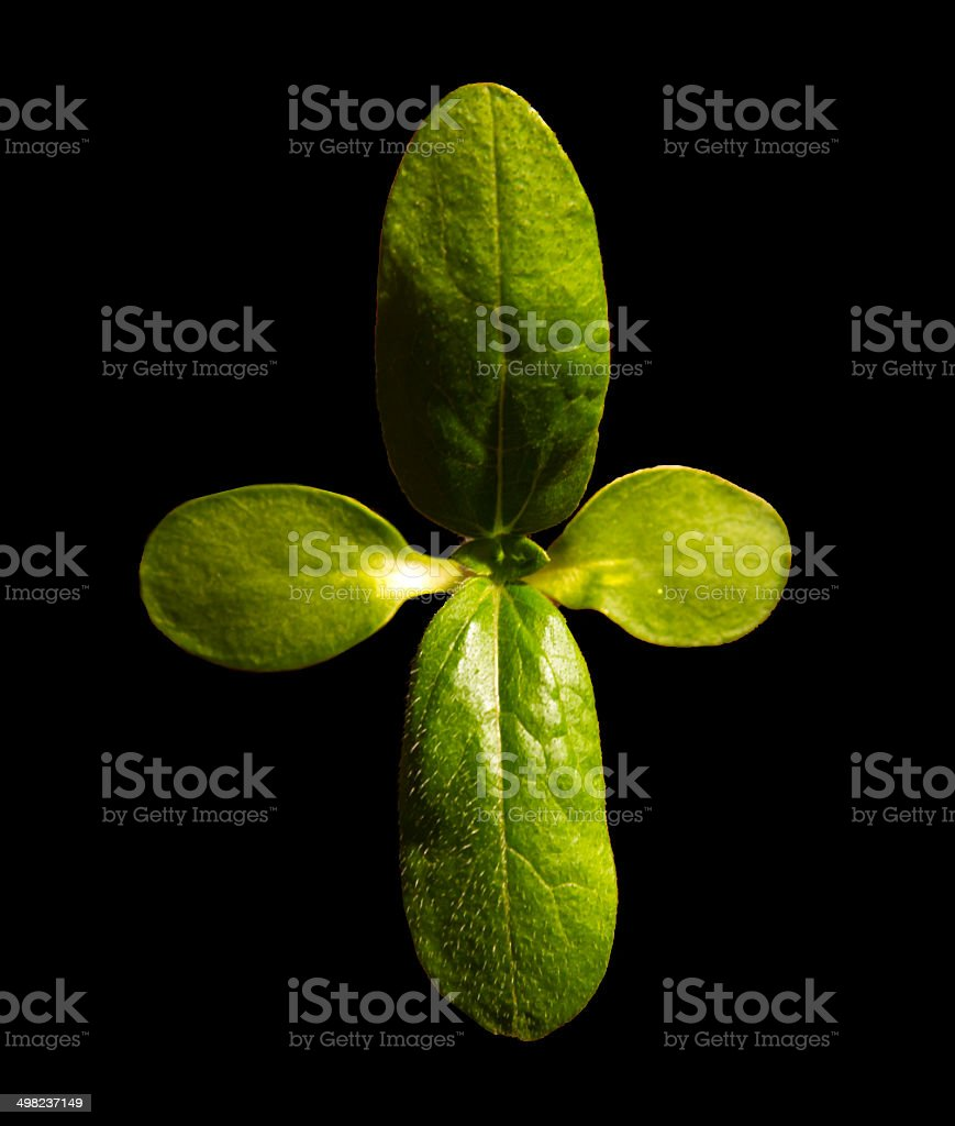 Sunflower Seedling stock photo