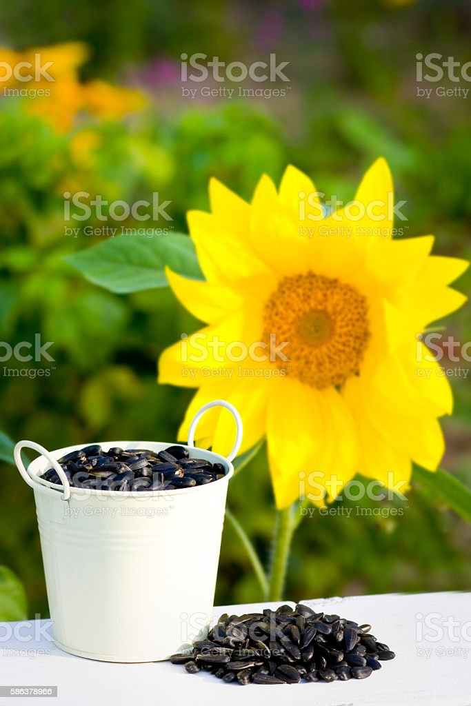 Sunflower seeds in bucket and sunflower stock photo