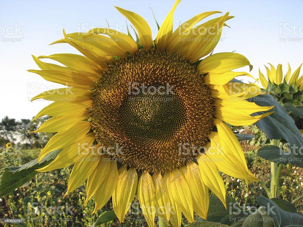 Sunflower seeds in fibonacci series stock photo