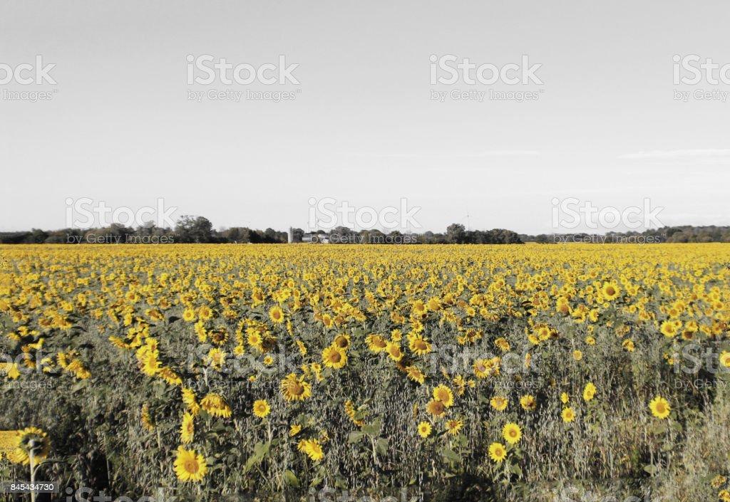 Sunflower Setting stock photo