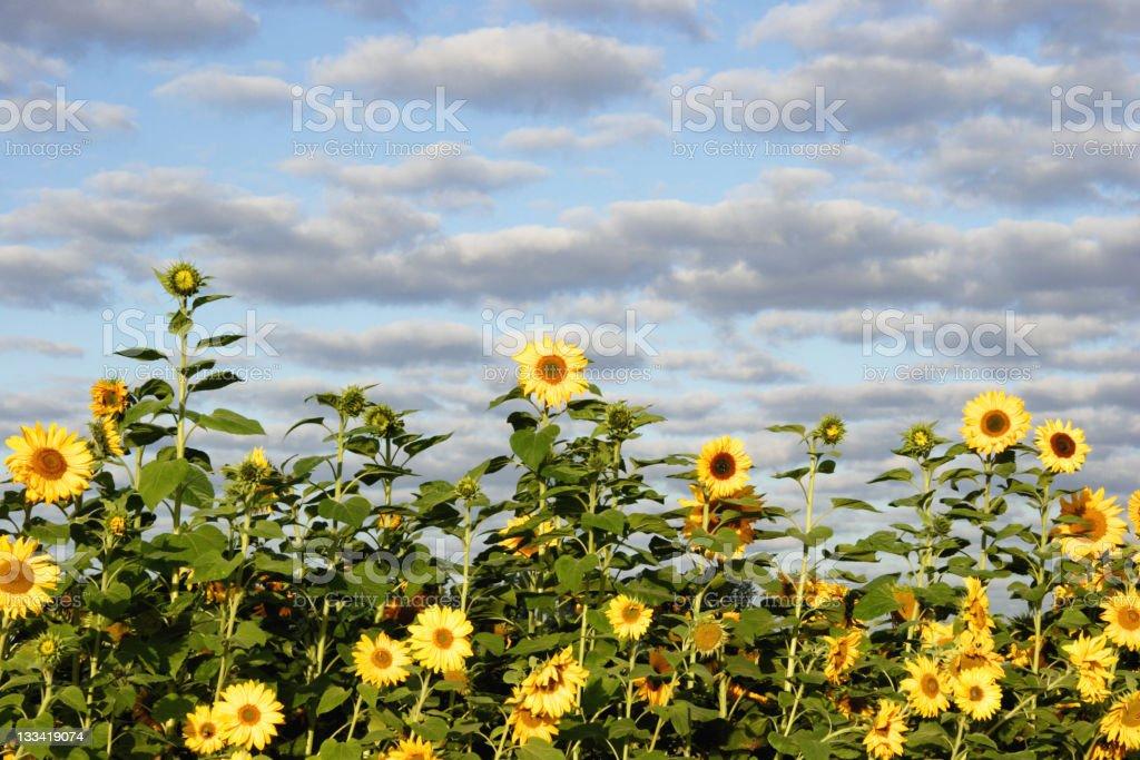 Sunflower sky stock photo