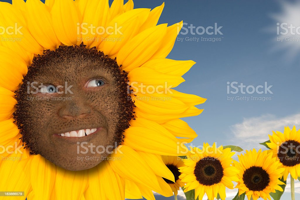 Sunflower smiley face royalty-free stock photo