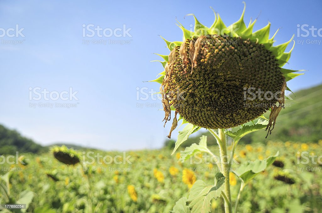 Sunflower soldiers in the field stock photo