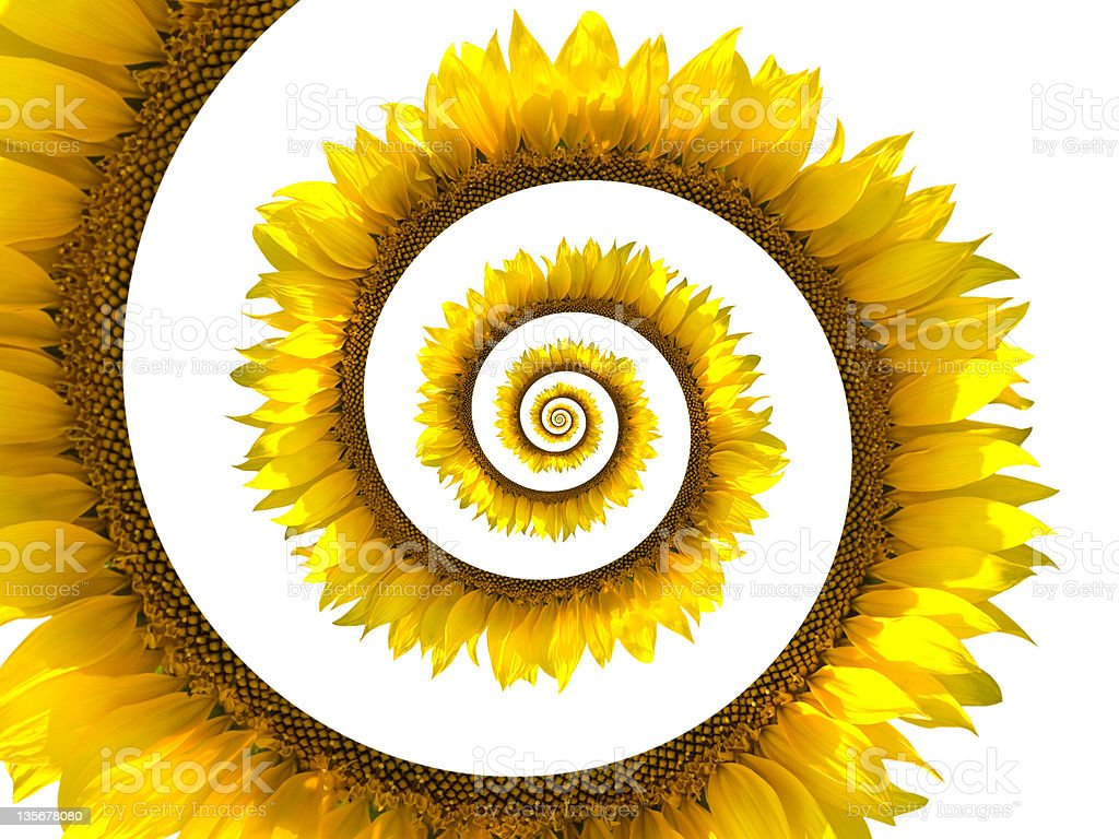 Sunflower spiral stock photo