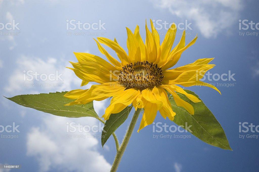 Sunflower summer sky stock photo