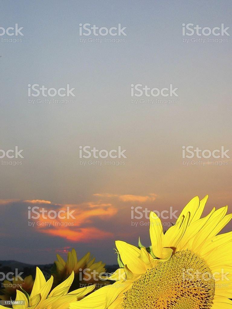 Sunflower sundown stock photo