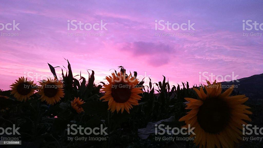 Sunflower Sunrise Cloud stock photo