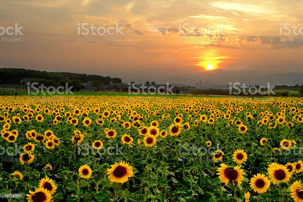 Sunflower sunset royalty-free stock photo