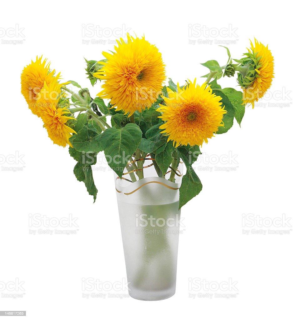 Sunflower Teddy Bear (Helanthus annus) royalty-free stock photo