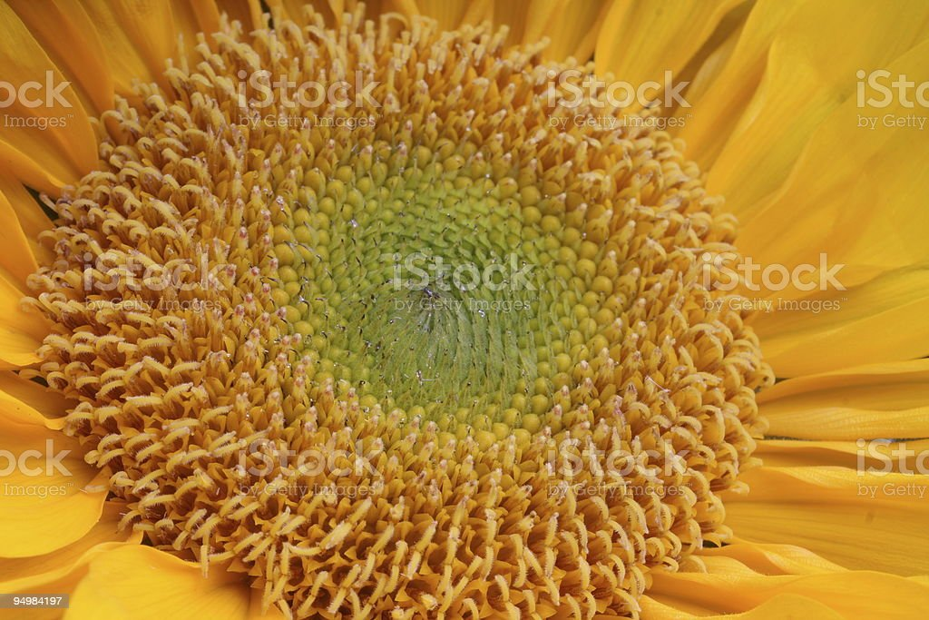 Sunflower up Close royalty-free stock photo