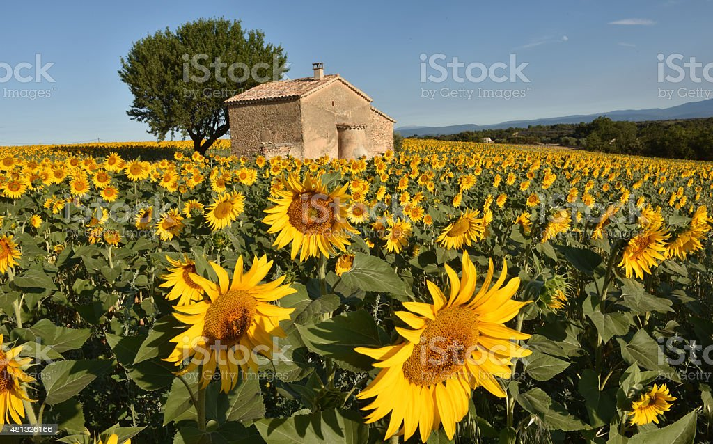Sunflower villa stock photo
