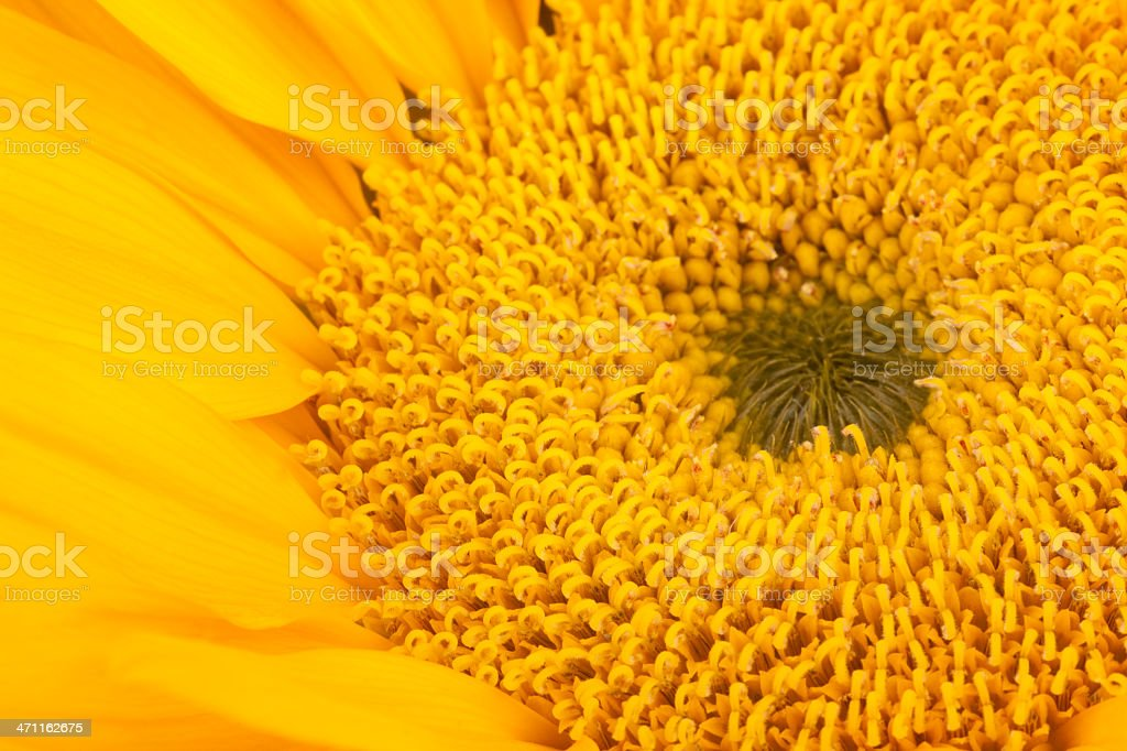 Sunflower, Vivid, Full-Frame, Flower, Macro, Background, Floral royalty-free stock photo