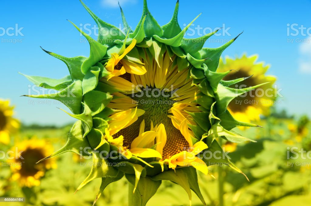 Sunflower waiting to open stock photo