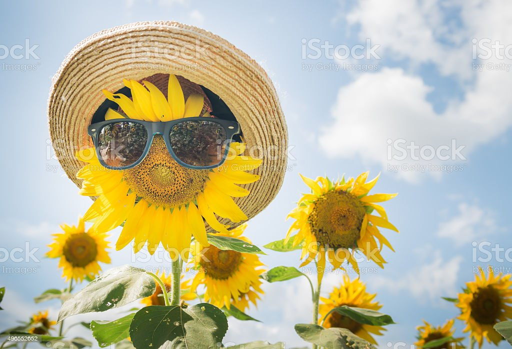 sunflower wear sunglass stock photo