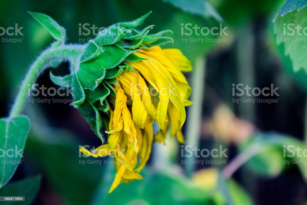 sunflower wilted stock photo