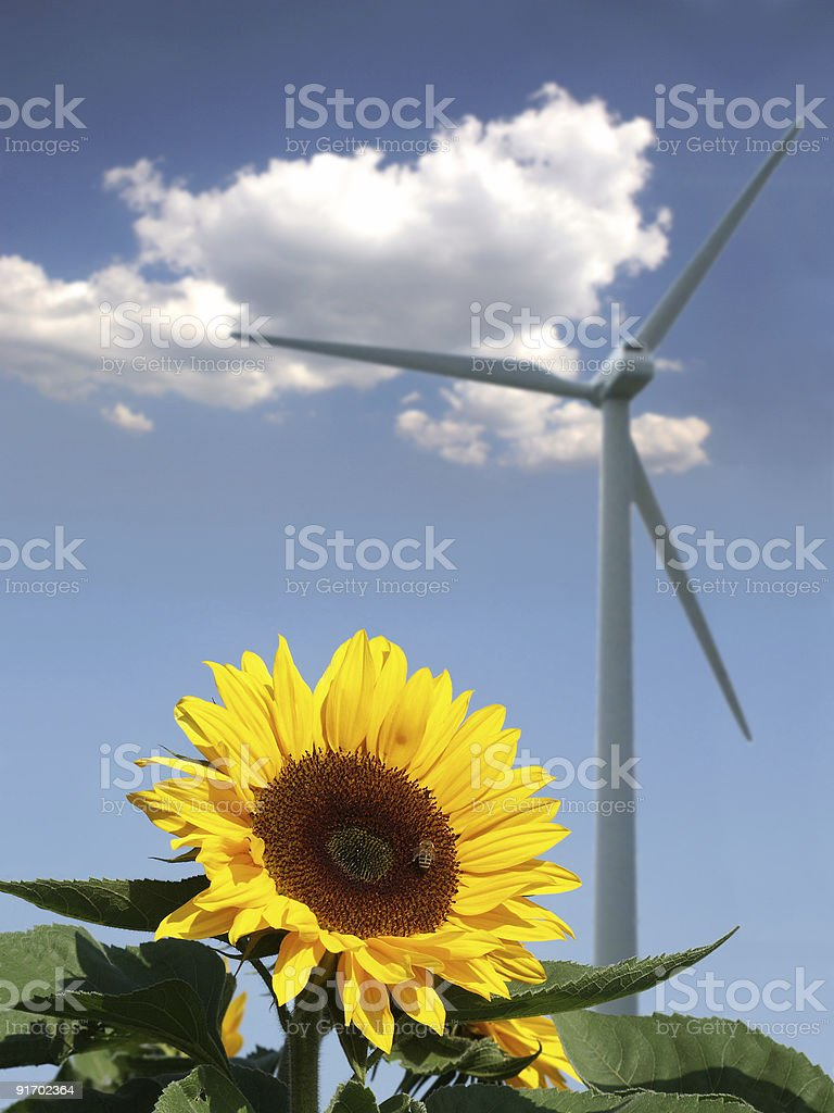 Sunflower with bee in front of a windmill stock photo