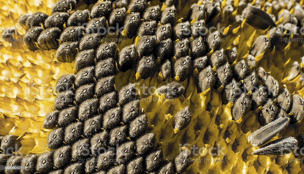 Sunflower with Black Seeds Close-Up stock photo