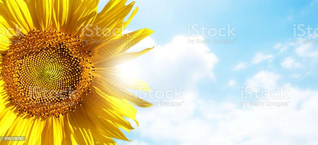 sunflower with blue sky and beautiful sun / sunflower stock photo