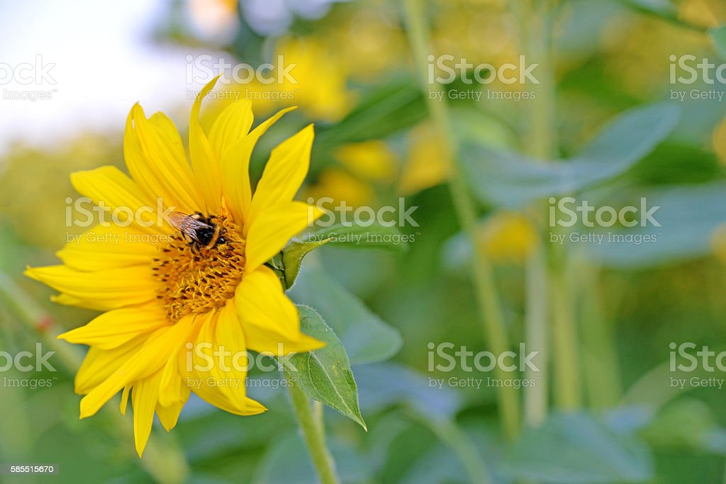 sunflower with busy bee stock photo